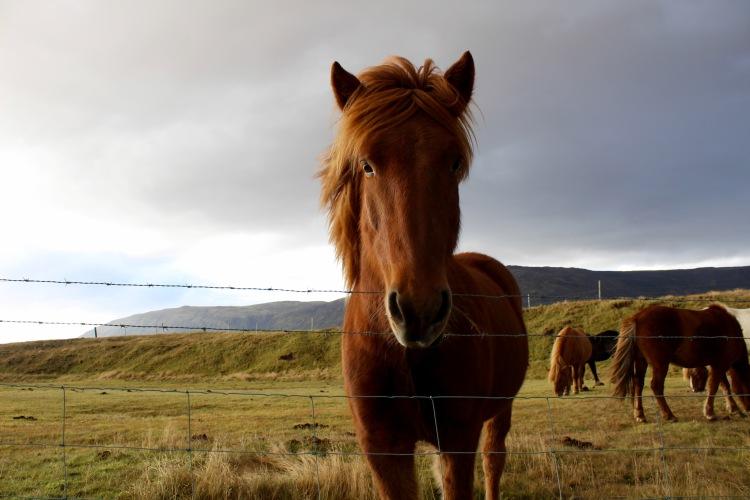 iceland-horse-2